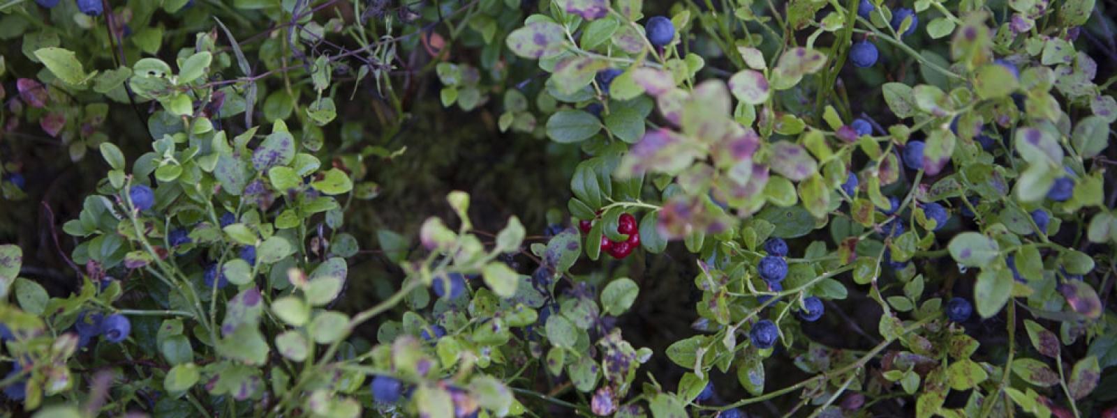 En tur till blåbärsskogen