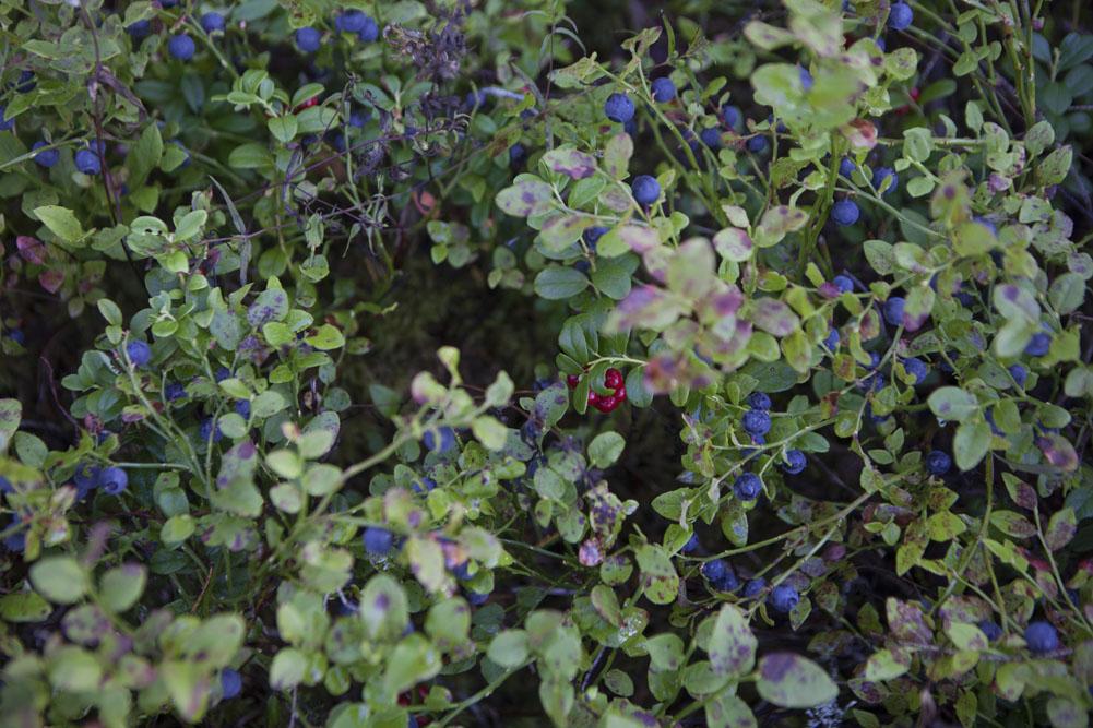 utflykt till blåbärsskogen